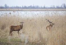 Manliga röda hjortar i oostvaarders plassen nära lelystad i Nederländerna Fotografering för Bildbyråer
