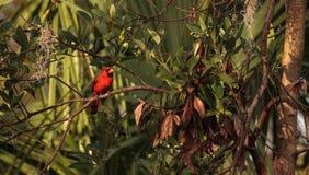 Manliga röda nordliga huvudsakliga fågelCardinalis cardinalis Arkivfoto