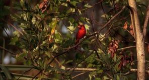 Manliga röda nordliga huvudsakliga fågelCardinalis cardinalis Fotografering för Bildbyråer