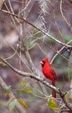 Manliga röda nordliga huvudsakliga fågelCardinalis cardinalis Arkivbild