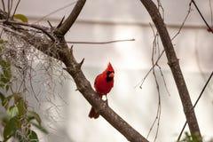 Manliga röda nordliga huvudsakliga fågelCardinalis cardinalis Arkivbilder