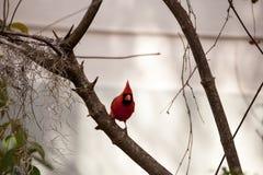 Manliga röda nordliga huvudsakliga fågelCardinalis cardinalis Royaltyfria Foton
