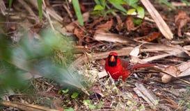 Manliga röda nordliga huvudsakliga fågelCardinalis cardinalis Royaltyfri Bild