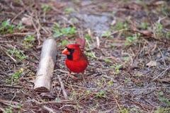 Manliga röda nordliga huvudsakliga fågelCardinalis cardinalis Royaltyfri Fotografi