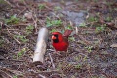 Manliga röda nordliga huvudsakliga fågelCardinalis cardinalis Royaltyfria Bilder