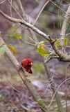 Manliga röda nordliga huvudsakliga fågelCardinalis cardinalis Arkivfoton