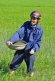 Manliga ris Paddy Worker Arkivbild