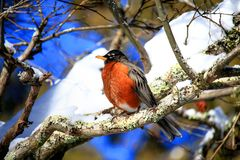 Manliga Robin In Snow Royaltyfria Bilder