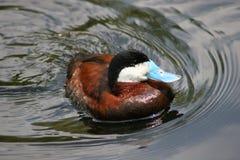 Manliga Ruddy Duck Arkivfoton