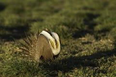 Manliga Sage Grouse blåser upp dess luftsäckar, medan visa på lek i guld- solljus Arkivfoton