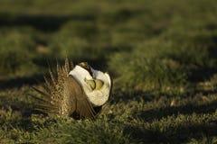 Manliga Sage Grouse blåser upp det är luftsäckar, medan svassa på en lek i den guld- morgonen, tänder Arkivfoto