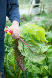 Manliga sidor för bondeHolding Colourful Bunched Chard Royaltyfri Fotografi