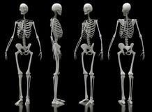 Manliga sikter för skelett fyra royaltyfri illustrationer