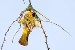 Manliga Weaver Bird som bygger ett rede av gräs i trädet Arkivfoto