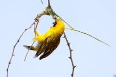 Manliga Weaver Bird som bygger ett rede av gräs i trädet Arkivbild