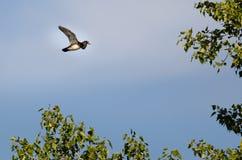 Manliga Wood Duck Flying Past Autumn Trees royaltyfri bild