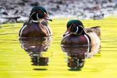 Manliga Wood Duck Pair Arkivbild