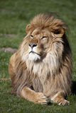 Manligt afrikanskt lejon arkivbilder