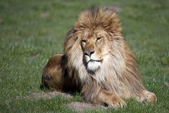 Manligt afrikanskt lejon royaltyfri fotografi