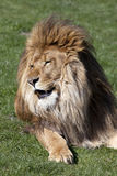 Manligt afrikanskt lejon royaltyfri bild