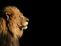 Manligt afrikanskt lejon på svart arkivbilder