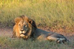 Manligt afrikanskt lejon, Sydafrika Arkivfoto