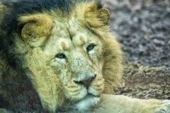 Manligt asiatiskt lejon, medan se dig på zoo Arkivfoton