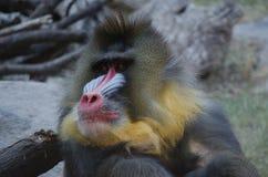 Manligt babiansammanträde bredvid en journal Royaltyfri Fotografi