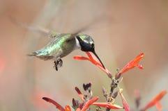 Manligt Costa Hummingbird naturligt äta Arkivfoton