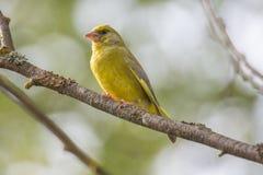 Manligt Greenfinch sammanträde på filial Royaltyfri Foto