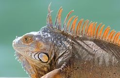 Manligt härligt flerfärgat djur för grön leguan, färgrik reptil i södra Florida arkivfoton