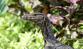 Manligt härligt flerfärgat djur för leguan, färgrik reptil i södra Florida royaltyfri bild