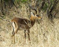 Manligt huvud för impalasidosikt upp Arkivfoto