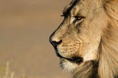 Manligt Kalahari lejon Arkivbilder