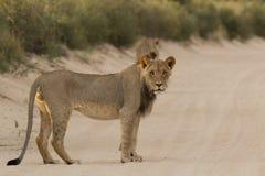 Manligt Kalahari lejon Royaltyfria Bilder