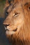 Manligt lejon Royaltyfri Fotografi