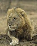 Manligt lejon Royaltyfri Foto
