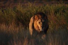 Manligt lejon Arkivbilder
