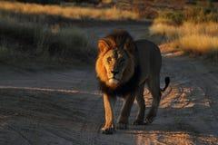 Manligt lejon Arkivbild