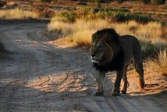 Manligt lejon Fotografering för Bildbyråer