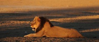 Manligt lejon Arkivfoton