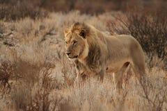 Manligt lejon i dess början Arkivbilder