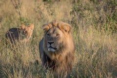 Manligt lejon i högt gräs i Chobe Arkivfoton