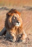 Manligt lejon i masaien Mara Arkivfoto