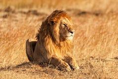 Manligt lejon i masaien Mara Royaltyfria Bilder