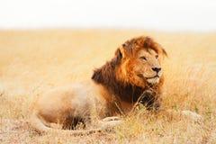 Manligt lejon i masaien Mara Royaltyfri Bild