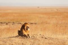 Manligt lejon i masaien Mara Arkivfoton
