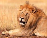 Manligt lejon i masaien Mara Royaltyfri Fotografi