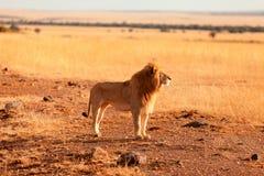 Manligt lejon i masaien Mara Royaltyfria Foton