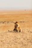 Manligt lejon i masaien Mara Arkivbilder